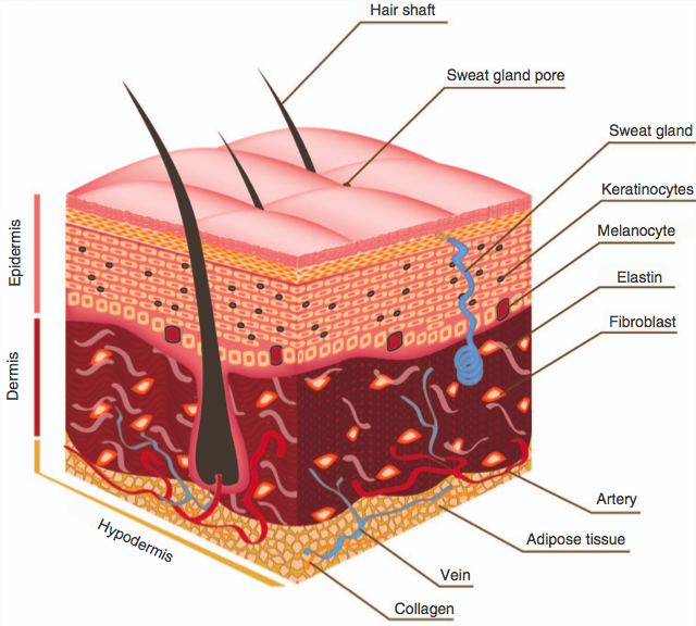 Advanced Biofabrication Strategies For Skin Regeneration